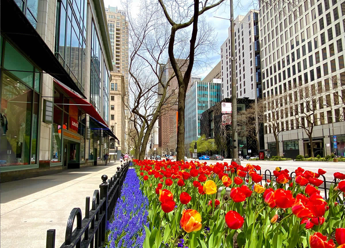 Beautiful red, yellow, and purple spring flowers in the parkway along Chicago's Magnificent Mile.